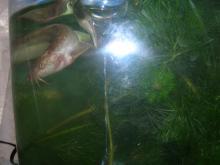 泳ぎまわっているドジョウ