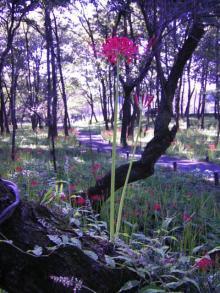 梅の木の上に咲いていた彼岸花2
