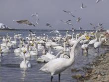 蕪島の白鳥