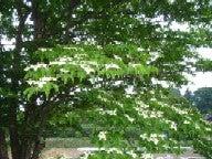 ヤマボウシ木
