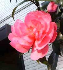 咲き乱れたい願望が・・・
