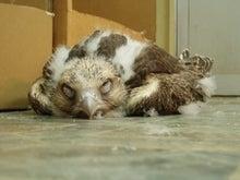 眠るハヤブサ