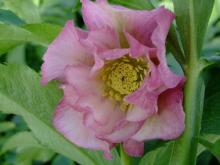 ガーベラのお花畑-xmasrose