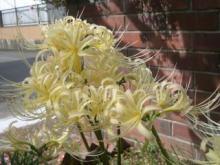 リコリス黄色