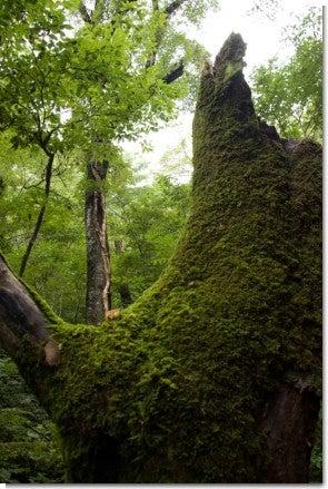 苔むした木