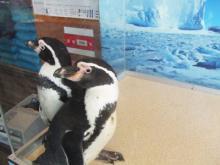 生ペンギン