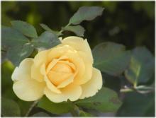 2711薔薇