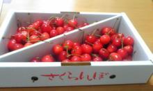 さくらんぼ2008
