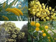 Wattle