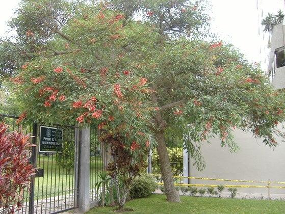 アメリカデイゴの木
