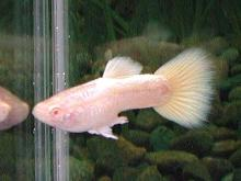 RRE・Aプラチナ・フルゴールド(若魚)