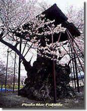 神代桜(かむいよぬさくぅら)