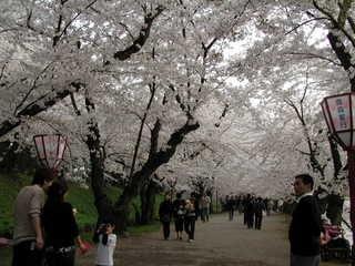 弘前桜満開000423