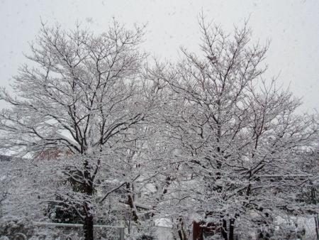 ハナミズキの雪化粧
