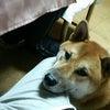 うちのバカ犬の画像