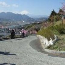 松田町で河津桜