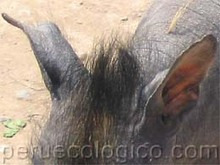 perro peruanocabeza