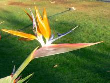 ゴクラクチョウ花