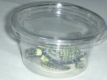 かめかめ博物館 水遊びの亀