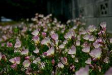昼咲き月見草2