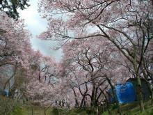 上を、右を見ても左を見ても、、桜・桜♪♪