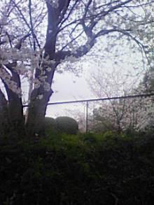 花曇のさくら1