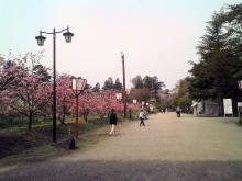 30日の弘前公園の桜