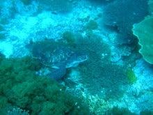 後浜(うしろはま)のウミガメ(全長70cm)