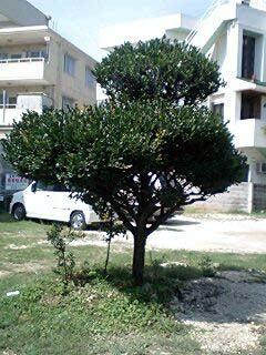 その名の通り黒い木なのです