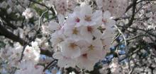 去年の名古城の桜