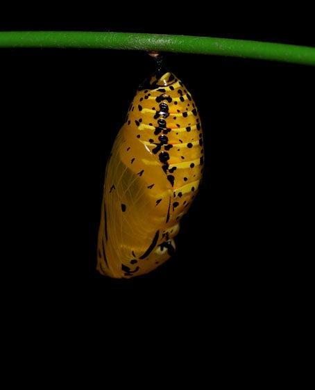 ケロケロの散歩道-オオゴマダラ蛹2