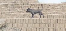 perro peruano en una huaca