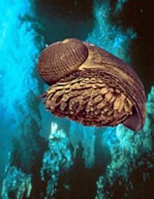 鉄のウロコをもつ巻貝