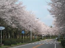 つくばの桜2
