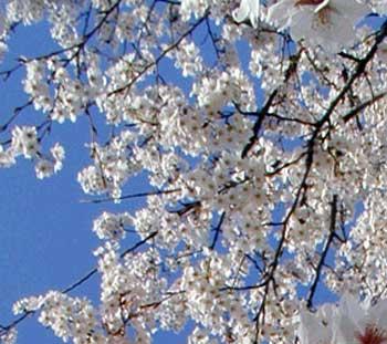 横浜は桜日和デシタ