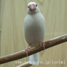 白文鳥の「セキトバ」