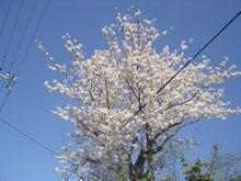 2007年の桜