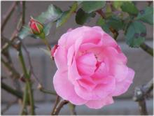 2892 薔薇