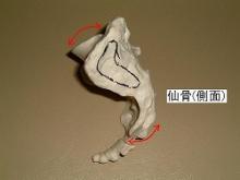 仙骨(側面)