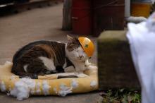 ヘルメット曲がってますわ、駅長猫コトラ