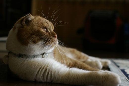 スコ猫くまきち日和+-遠い目