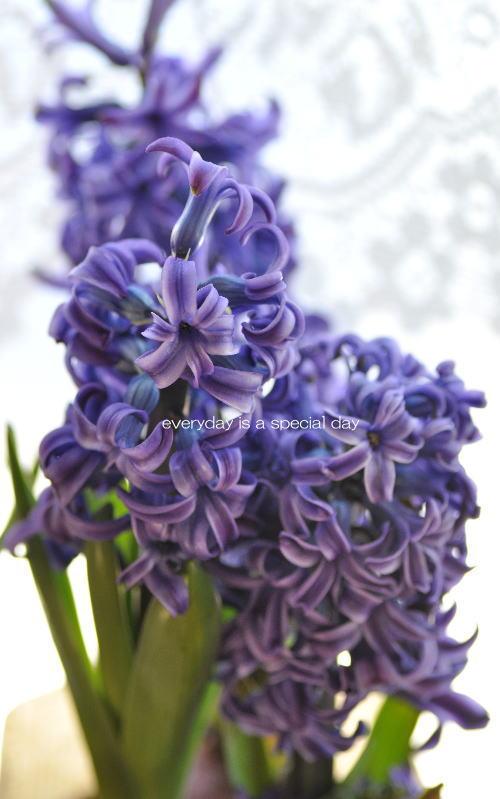 毎日がスペシャル♪-ヒヤシンス紫