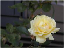 2895薔薇