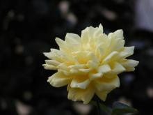 2689薔薇