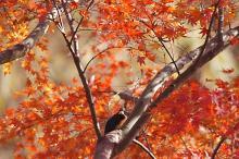 紅葉カワセミ