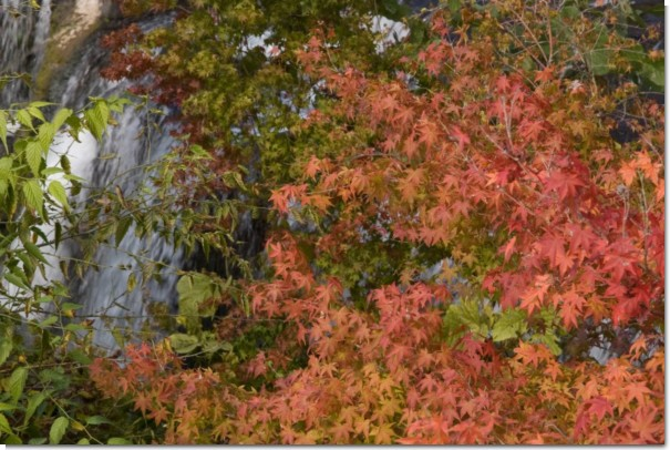 鍋釜滝の楓