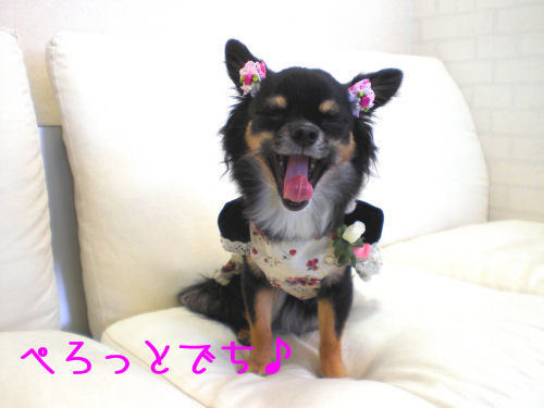 ★★The Chihuahua Ring★★