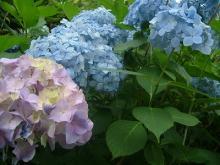 アジサイ花盛り