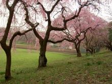 枝垂桜2007