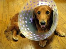 パラボナ犬